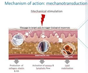explication de la mécanotransduction