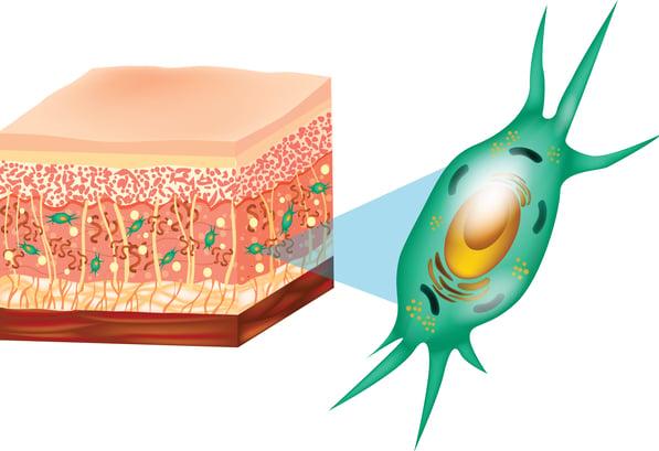 Structure de fibroblastes et de la peau